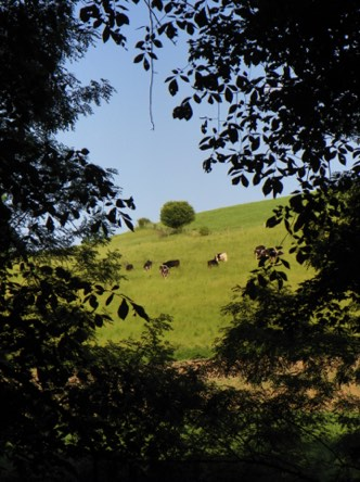 Through the doorway of trees, the neighbors' cows take their time grazing the hillside.